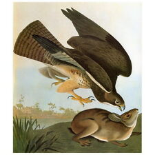 John J Audubon Common Buzzard Deco Magnet, Birds of America Swainson's Hawk