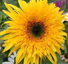Helianthus Solid Gold F1 - 10 Seeds - Helianthus Annuus