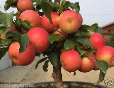 Rare imported Apple tree Seeds Huge Fruit 10 seeds