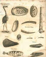 1802  Flamingo Pilot Fish Sea Years And Pipes Copperplate
