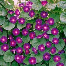 "400+ BULK HEIRLOOM FLOWER SEEDS - MORNING GLORY - ""GRANDPA OTT"" CLIMBING VINE!!"