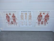 """The Muscular (Male & Female) & The Skeletal System Teaching Charts - 20"""" x 26"""""""