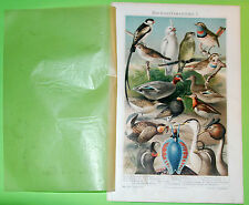 Old Meyers Lexikon -Original Chromo Lithografie Birds 1896 Prints