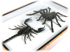 Tarantula & Scorpion Real Butterfly Insect Taxidermy Display Framed Box FS gpasy