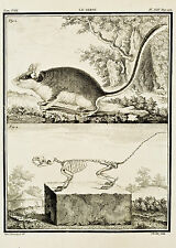 "De Seve's Animals (Buffon) - ""LE LEROT & SKELETON"" - Copper Engraving - 1760"