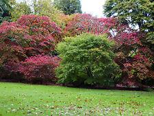 Primi tre acers -65 semi ogni Arancione, Rosso e purple.great Autunno Colori