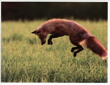 Postcard Red Fox Pounces on Prey at Prince Edward Island Canada
