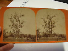 vintage Steroview card--Buttonwood in front of old cottage