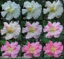 Confederada Rose - 30 Semillas-Hibiscus Mutabilis sorprendente cambio de color de flor