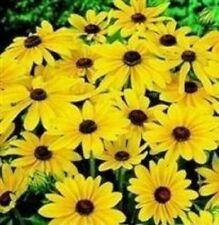 Rudbeckia - Indian Summer - 20 Seeds