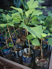 Ginkgo Biloba plant,2 y.o., oldest tree in the world. Split leaf. sent with soil