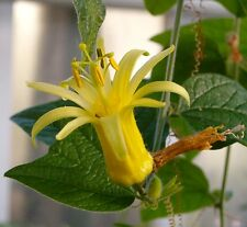 Passionflower Freshly harvested Passiflora Citrina seeds 15 seeds