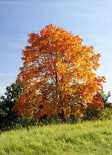 ARBOL AMARILLO  ( Acer Platanoides) 25 semillas / seeds