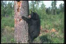 100039 Black Bear Climbing Tree A4 Photo Print