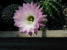 Easter Lily Cactus -Echinopsis subdenudata- From 20 Year Specimen- Pink Trumpet