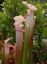 PITCHER PLANT CRIMSON WHITE * Sarrencia leucophylla * CARNIVOROUS * SEEDS NEW!!