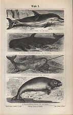 Lithografien 1897: Wale I/II. Delphin Grindwal Narwal Dudong Pottwal Grönlandswa