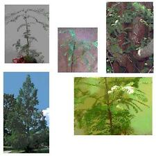Set of 3 - Dawn Redwood Trees (Metasequoia) 26+in, Hefty/Bareroot - Ships Now