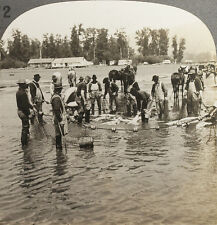 Keystone Stereoview Catching Chinook Salmon,Columbia River From Rare USA 100 Set