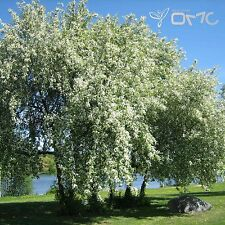 BIRD CHERRY (Prunus Padus) 25+EXTRA seeds (#256)