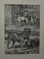 1881 PRINT BULL & TERRIER CROSS VERO SHAW CASSELL'S BOOK of the DOG