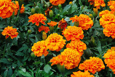 FRENCH MARIGOLD - ORANGE - 250 seeds - Tagetes patula nana ANNUAL FLOWER
