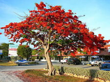 ON SALE! 3 FOOT Live Red Royal Poinciana Tropical Tree also for Bonsai