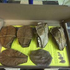 Nano Seemandelbaumblätter 10-15cm ~50 Stück (=50 Gramm) Catappa Leaves In klein