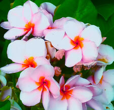 Plumeria Seeds/Flowers/ Fragrant Berry/Fresh 22 seeds