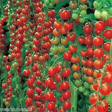 Dolce Vita Organic Tomato Seeds Prolific  Great Cropper