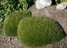 Ornamental Grass Seed - Festuca Fescue Scoparia Seeds
