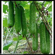 (30) Long Hairy Gourd seeds,Winter Melon,fuzzy chinese Squash, Mao Gua  bí đao