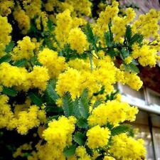 Acacia Baileyana - 20 Seeds - Cootamundra Wattle