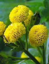 "GOLD BALL CHRYSANTHEMUM ""Tanacetum Parthenium"" ~Golden-Yellow Pompons~25+ Seeds"