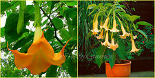 "SEEDS – Breathtaking Dwarf Brugmansia ""Yellow Fragrant"" Angel's Trumpet Flowers"
