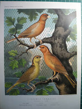 "CASSELLS CANARIES.  "" NORWICH TYPE, CINNAMON CANARIES  "" 1879. VERY RARE"