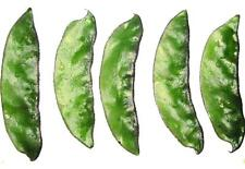 UK: Hyacinth Bean,Heirloom,Kakiya Urie,Aina Urie,Golgada Urie: 8 Seeds