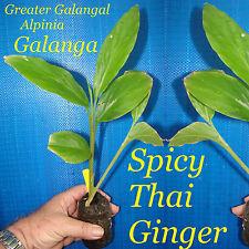 ~HOT SPICY THAI GINGER~ Alpinia GALANGA PLANT Greater Galangal sm potd Plant