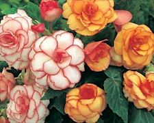Pack x3 Begonia 'Picotee Mixed' Quality Summer Flower bulbs