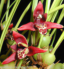 "Maxillaria Tenuifolia, Coconut Orchid, Fragrant Oncidium in 4"" pot with medium"