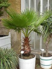 Mexican Fan Palm - Washingtonia robusta - Fresh Seeds