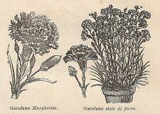 A0397 Garofani Margherita e Stelo di Ferro - Stampa Antica del 1907 - Xilografia
