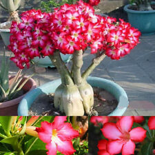 Charm Rare Flower Pink Adenium Obesum Desert Rose Bonsai Tree Plant Seed 5PC