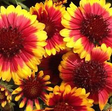 30+ ARIZONA SUN BI-COLOR GAILLARDIA FLOWER SEEDS / RARELY OFFERED  PERENNIAL