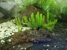 Aquarium Live plant Fissidens Nobilis on lava rock