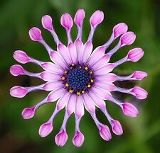FREE P&P LARGE PACKET - 350 seeds - African Daisy Mix - Osteospermum Ecklonis