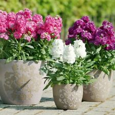 FLOWER SEEDS - violet 50 seeds hoary stockMatthiola incana Perennial herb Plant