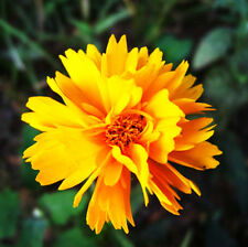 Double Coreopsis Seed 30 Seeds Coreopsis lanceolata Asteraceae Flower Seeds A046