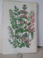 Vintage Print,CAT MINT,Plants,Great Britian,Pratt