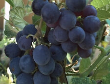Vitis labrusca CONCORD GRAPE Seeds!